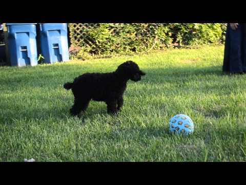 Standard poodle Jimmy 11 weeks