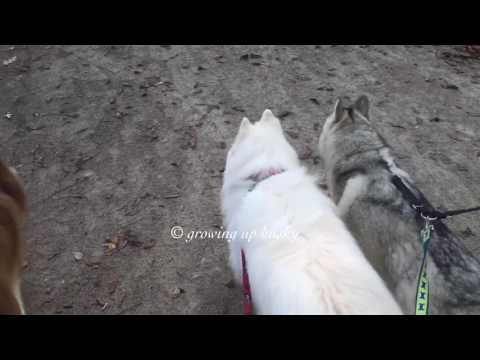 Video 5 huskies leaving the dog park download in MP3, 3GP, MP4, WEBM, AVI, FLV January 2017