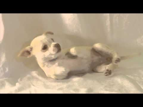 Cute Funny Dancing Chihuahua Rescue Puppy, she's Got Talent- Talent Hounds