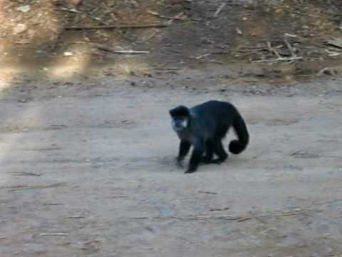 Macacos em porecatu