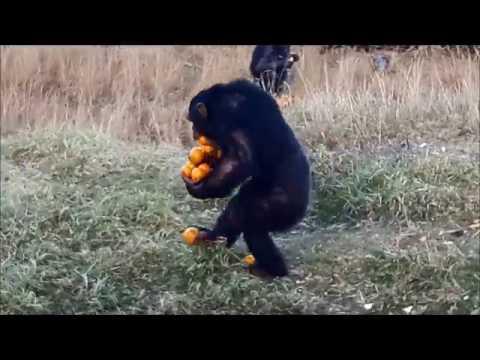 Tämän enempää ei yksi apina pysty appelsiineja kantamaan