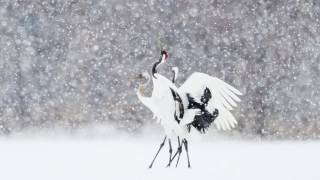 Kushiro Japan  city photos : Beautiful Red Crown Cranes in Kushiro Japan 2016 美しい釧路の丹頂鶴