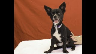 A5089872 Liam is a man-about-town 4-year-old black-and-white male Papillon and Chihuahua mix who came into the Baldwin Park Animal Care Center as a stray found in El Monte on July 16th. Weighing 11 lbs, Liam is independent but also extremely cuddly and a people person who's good on leash, alert, inquisitive, and gets along with his kennel mates. He is a small dog with a big personality who will fit into nicely into any household that gives him the love and attention he deserves. Liam is happiest in your arms and has a face that will look forever young. We think this happy-go-lucky pooch will make an excellent indoor pet and companion for any type of household where he's part of all the goings-on.  For more information on this pet, contact volunteer UHA adoption coordinator Sandra at 323-350-7207 or sandraburkhardt07@yahoo.com.United Hope for Animals is not a facility. To CHECK THE STATUS of this animal, contact the BALDWIN PARK SHELTER in person, by phone or on their website:Address: 4275 Elton St, Baldwin Park, CA 91706Phone: (626) 962-3577Website: http://1.usa.gov/1oB6G0pIf you end up adopting this animal, please give a shout out to #unitedhopeforanimals @UnitedHope on social media,  leave a comment here as a thank you to our Volunteers, or donate to UHA at http://unitedhope4animals/donate. Thank you for looking! Please SHARE this animal if you are unable to adopt. United Hope for Animals links:ADOPTABLE PETS: http://goo.gl/gY1ReUFACEBOOK: https://www.facebook.com/UnitedHopeTWITTER: https://twitter.com/UHope4AnimalsINSTAGRAM: http://instagram.com/unitedhopeforanimalsWEBSITE: http://unitedhope4animals.orgOur Mission:United Hope for Animals is dedicated to reducing homelessness among companion animals through spay/neuter, shelter support, photography, video and networking of shelter animals in Southern California. It is an all-volunteer, non-profit organization working to end homelessness among companion animals by supporting shelter adoptions and spay/neuter progra