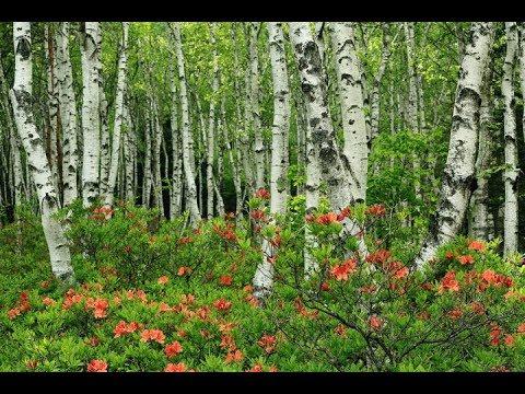 Берёза. Музыка Сергея Чекалина. Birch. Music by Sergei Chekalin. Russian music. (видео)