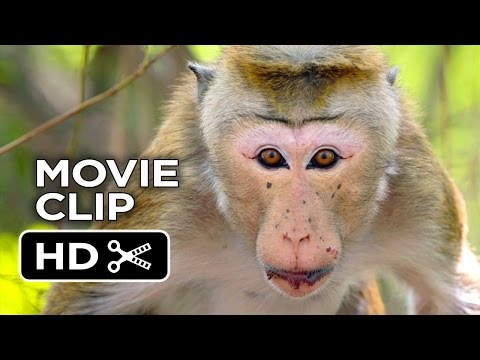 Monkey Kingdom Clip 'Rajah'