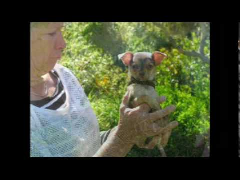 Andy the Puppy Meets Little Joe Chihuahua
