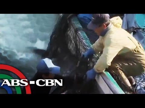 Japan - Some animal welfare advocates rushed to the Japanese embassy. Their plead, Japan must stop in catching and killing the dolphins. Subscribe to the ABS-CBN News channel! - http://bit.ly/TheABSCBNNew...
