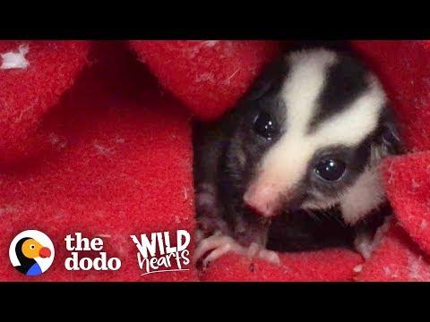 il-piccolo-opossum-trova-una-casa-dove-crescere