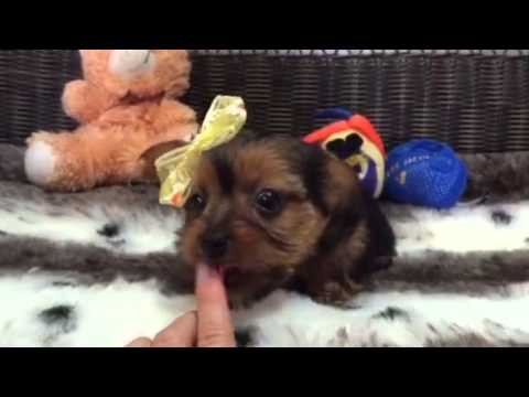 Cute princess black and tan Yorkie Poo!