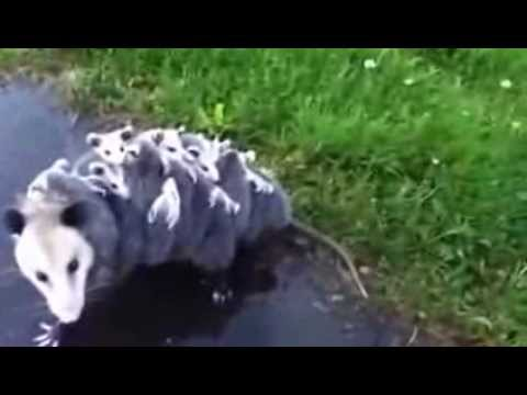 Mother Opossum Carries Around 15 Babies