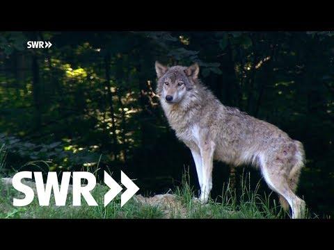 Die Rückkehr der Wölfe - schießen oder schützen? | SWR Mensch Leute