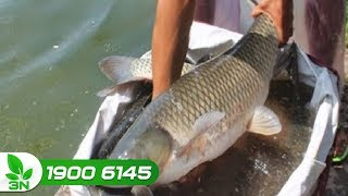 Thủy sản | Bệnh thường gặp ở cá trắm cỏ trong mùa mưa bão