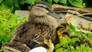 Video Ducklings First Time Swim In Creek MP3, 3GP, MP4, WEBM, AVI, FLV Agustus 2019