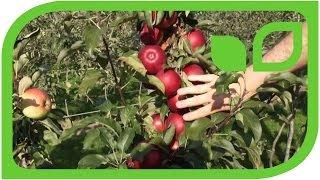 #525 Der Säulenapfel Malini® Dulcessa® (Säulenbaum)