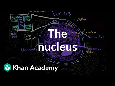 The Nucleus Video Eukaryotic Cells Khan Academy