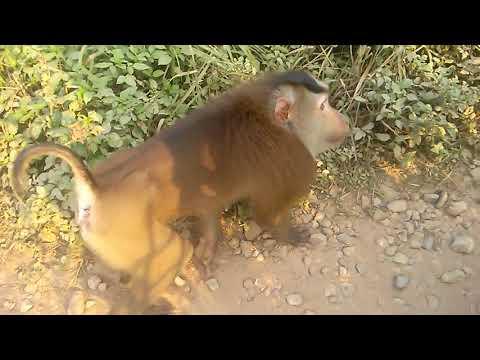 Khỉ tuột quần nữ du khách - Thời lượng: 5 phút, 45 giây.