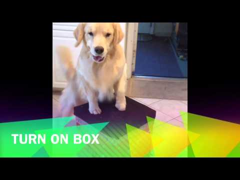 henry, the most talented golden retriever