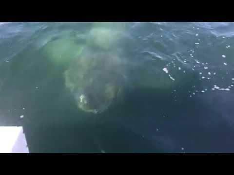 Giant Shark Encounter