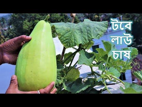 খুব সহজে টবে লাউ চাষ করার পদ্ধতি    Growing Bottle Gourd in Container or Pot at Home
