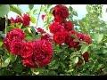 Видео - Как размножить вьющуюся плетистую розу черенками