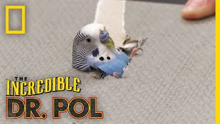 A Parakeet's Leg in Need | The Incredible Dr. Pol by Nat Geo WILD
