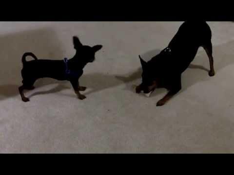 Chihuahua vs. Miniature Pinscher