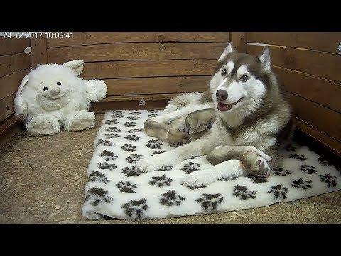 Хасята онлайн Сезон 3 Цветы Ванили / Husky online Season 3 Vanilla Flowers (видео)