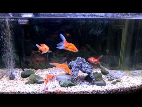 可愛い金魚(琉金)初めての飼育