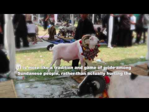 The History Of A Fighting Ram