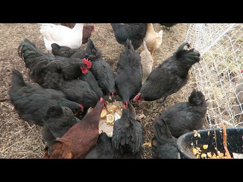How I feed 30 chickens for $1.25 a day