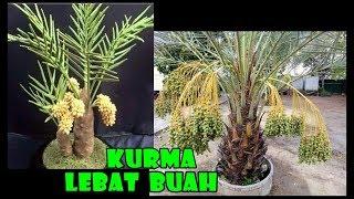 Video # TIS # Kurma Mini Lebat Buah dlm POT Jenis,Tanam,Rawat Ajwa,Lulu,Amir   How to Plant Dates in Pot MP3, 3GP, MP4, WEBM, AVI, FLV November 2018