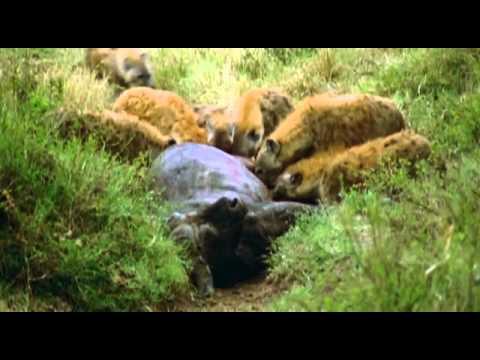 BBC Lion Battlefield 4