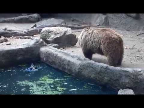 Bear saves crow from drowning