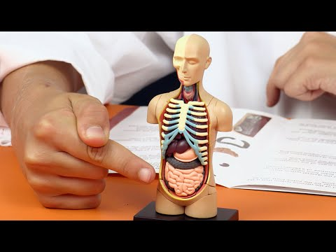 Human Body Anatomy Model - Learn Your Organs ⚗⚠️ Fun Science for Kids⚗⚠️