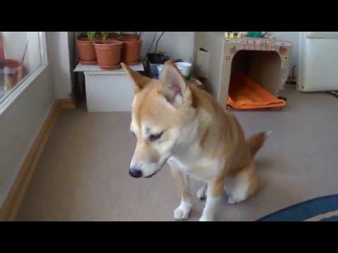 Shiba Inu 手まり麩を食べる柴犬
