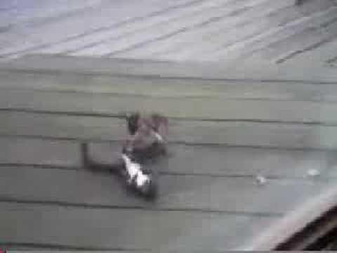 松鼠打架,打到一半竟然裝死?看完我笑了…