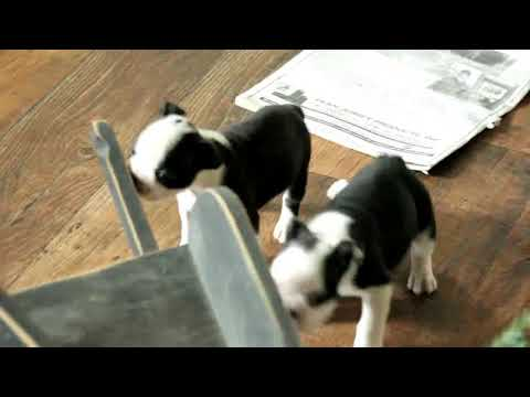 Boston Terrier Puppies For Sale Clair & Linda Weaver