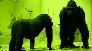 Download Video The love of gorillas ゴリラの愛 R18指定 モモタロウとゲンキの愛の営み 京都市動物園 MP3 3GP MP4