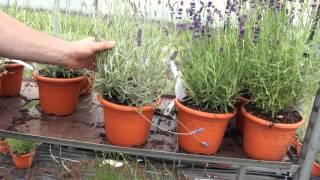 #448 Verschiedene Blattfärbungen bei Lavendelsorten
