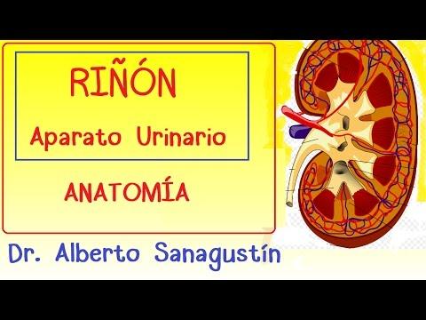 Riñón y Aparato Urinario (anatomía) - Clases de medicina