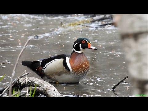 Каролинская утка (кароли́нка) - Wood duck