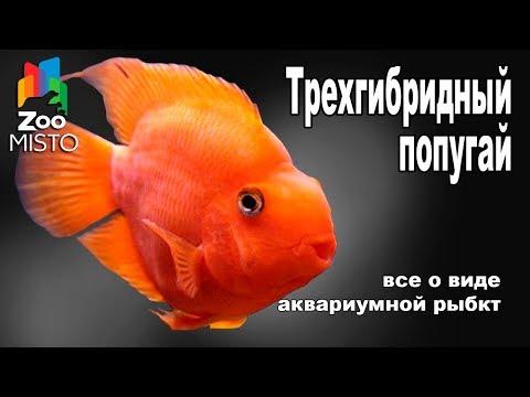 Трехгибридный Попугай - Все о аквариумной рыбке