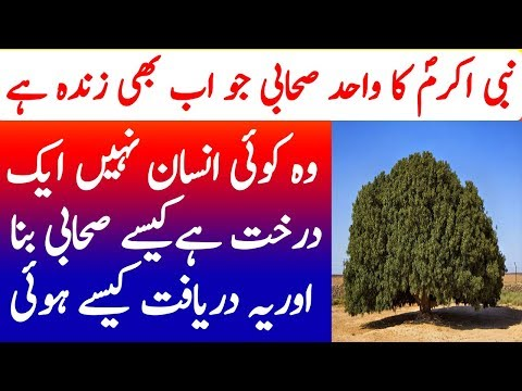 Nabi Akram SAW ka Sahabai Darakht | The Blessed Tree History | Studio One