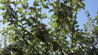 #826 Die urenglische Apfelsorte Bramleys Seedling