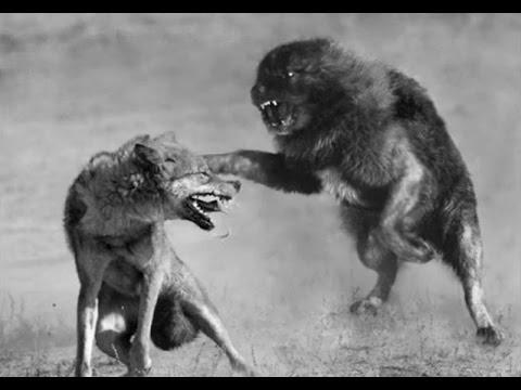 İlirya Çoban Köpeği Kurtları Öldürüyor