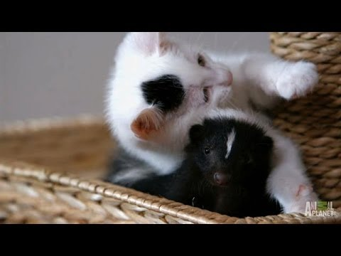 Who Knew Kittens and Skunks Made Such Good Friends%3F %7C Too Cute%21