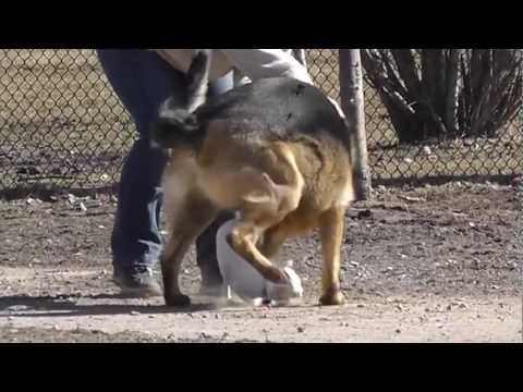 chihuahua vs german shepherd! shocking video...