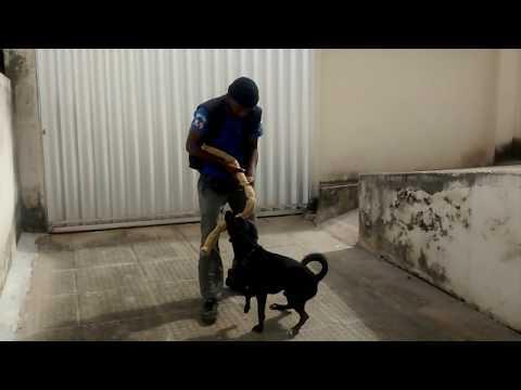 Video Como treinar um cão para guarda. download in MP3, 3GP, MP4, WEBM, AVI, FLV January 2017