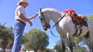 Cavalo Pantaneiroé Uma Das Atrações Da Exposição Agropecuária De Poconé