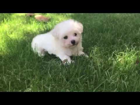 Romeo is a super laid back tiny MaltiPoo